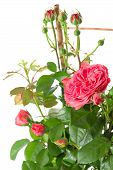 Blossoming Pink Roses Plant On White