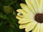 Dolichopodidae on pastel yellow daisy