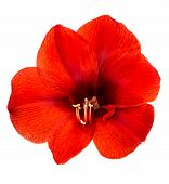 Red Amaryllis Flower With Clipping Path