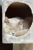 Lilac british shorthair sleeping