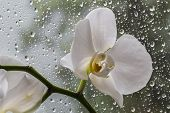 White Orchid In Glass During Rain