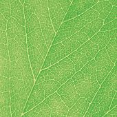 Green Leaf Macro Textured Closeup, Large Detailed Abstract Background Texture