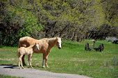 stock photo of colorado high country  - Mother and foal in high country meadow near Durango - JPG
