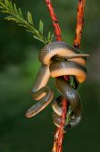 Close-up of an Aurora house snake (Lamprophis aurora), South Africa