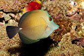 Scopas Tang In Aquarium