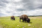 Beautiful Buffaloes In Yellowstone National Park