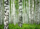 nice summer birch forest in Russia