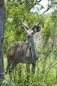 Kudu Antelope (tragelaphus Strepsiceros)