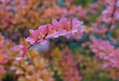 Pink Autumn Leaves