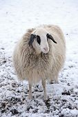 Lonely Sheep In Winter With Thick Winter Coat