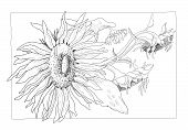 Sunflower Illustration In Black And White