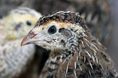 Brown Crested Quail