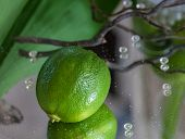 Table decoration with a lime
