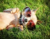 a cute chihuahua with aviator sunglasses on