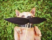 a cute chihuahua toned with a mustache in the grass