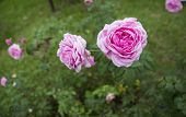 Blooming Pink Roses In The Garden