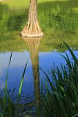 Bald Cypress In The Pond With Water Reflection