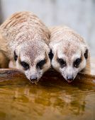 Meerkats Drinking Water