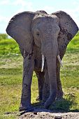 foto of kilimanjaro  - Kilimanjaro elephants in Amboseli National Park - JPG
