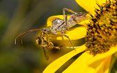 Wheel bug eating a bee
