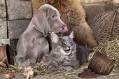 foto of coon dog  - Weimaraner puppy and kitten - JPG