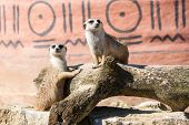 stock photo of meerkats  - Meerkats suricate couple sitting upright staring held in captivity - JPG