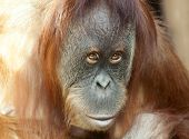 picture of face-fungus  - Closeup portrait of an orangutan female - JPG