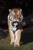 stock photo of dread head  - Fullsize bright sunny portrait of a dreadful Siberian tiger - JPG