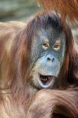 Closeup Portrait Of A Young Orangutan Female With Open Chaps.