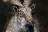 Closeup Portrait Of A Markhor Male.