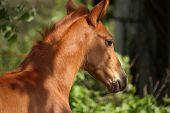 pic of chestnut horse  - Chestnut cute horse foal portrait in summer outside - JPG