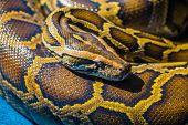 picture of pythons  - Royal Python or Ball Python  - JPG