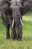 African Elephant In The Tarangire National Park, Tanzania