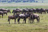 picture of wildebeest  - Masai Mara wildebeest migration in Tanzania Africa. ** Note: Shallow depth of field - JPG