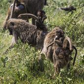 pic of veld  - Baboon mother walking through the savannah with its baby on the backTarangire National Park - Wildlife Reserve in Tanzania Africa.
