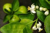 picture of lime-blossom  - close up of lime with lime blossom - JPG