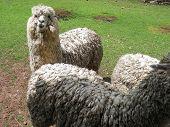 stock photo of alpaca  - Huacaya alpaca outdoors looking at the camera - JPG