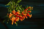 Pyrostegia venusta or orange trumpet flowers