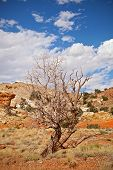 Tree in the red desert of Southwest USA Capitol Reef National Park