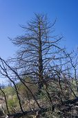 Pine Tree Charred