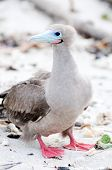 picture of booby  - a galapagos island endangered red footed boobies - JPG