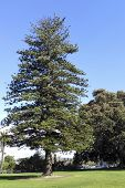 picture of century plant  - Over a century old Norfolk Island Pine a large evergreen coniferous tree planted in Southern California city of Camarillo - JPG