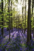pic of harebell  - Beautiful sunlit morning in Spring bluebell forest - JPG