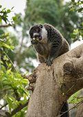 Lemurs, Spain