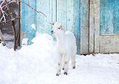 image of baby goat  - baby goat in the farm in front of blue door - JPG