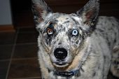 picture of seeing eye dog  - Aussie dog standing at attention - JPG