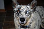 stock photo of seeing eye dog  - Aussie dog standing at attention - JPG