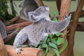 Baby Koala Climbing A Tree