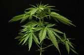 pic of medical marijuana  - Young Green Leaf Cannabis Indica Plant Marijuana