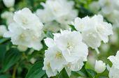 picture of jasmine  - Jasmine flower growing on the bush in  garden - JPG